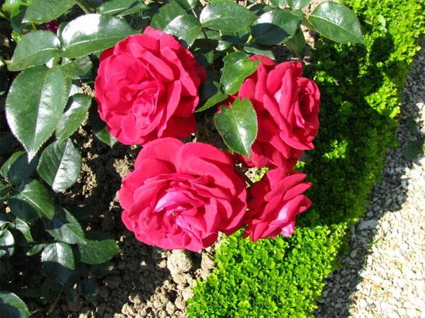 Розарий в саду своими руками: красота, требующая усилий