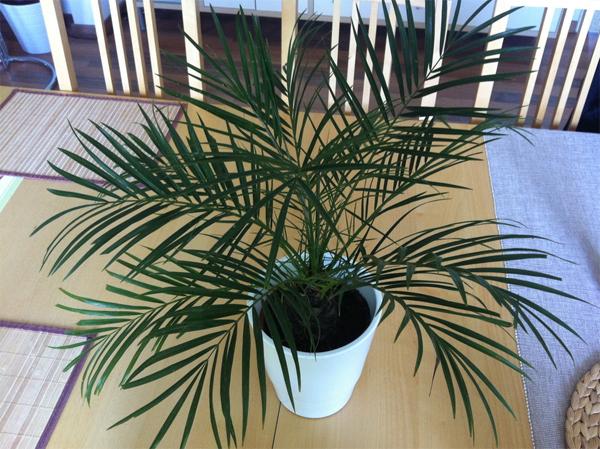 Как вырастить пальму в домашних условиях?
