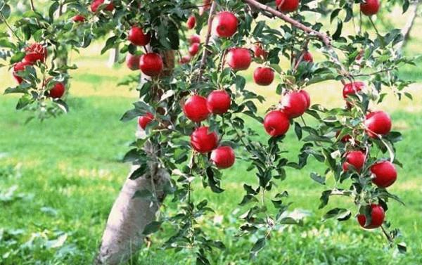 Выращивание яблонь на дачном участке: что нужно знать