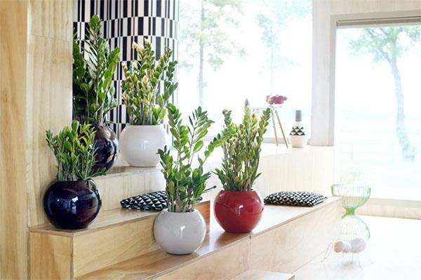 Замиокулькас: растение для забывчивых